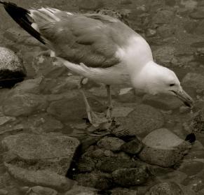 Mono Lake Gull