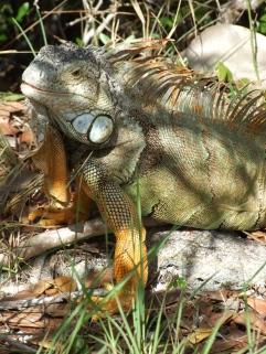 Florida Keys Iguana
