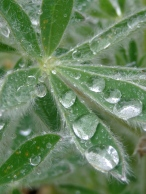 Lupine Leaves