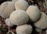 Gemmed Puffballs1