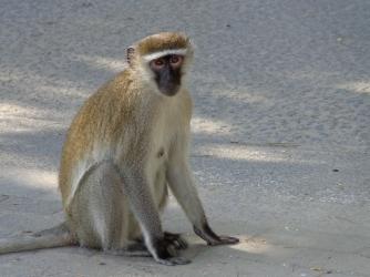 Street Monkey