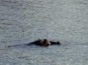Zambezi Hippo