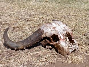 Serengeti Skull