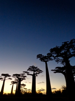 Sunset Baobabs