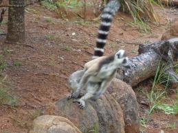 Leapin Lemur