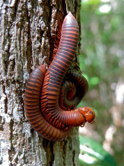 Centipede Sex