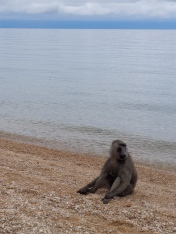 Beached Baboon