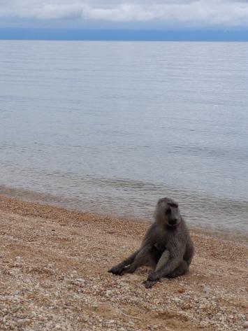 Beached Baboon