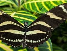 NOTL Butterfly 1