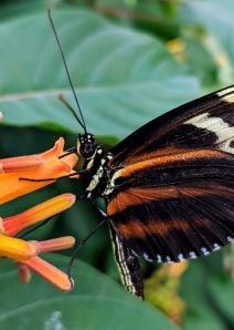 NOTL Butterfly 2