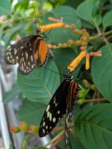 NOTL Butterfly 3